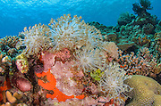 Soft Coral (Xenia sp.)<br /> Cenderawasih Bay<br /> West Papua<br /> Indonesia