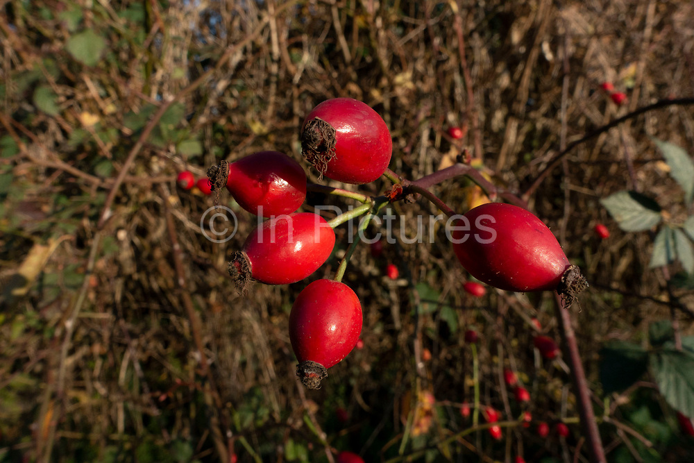 Autumn Rose Hip buds near Rugeley, United Kingdom. The rose hip or rosehip, also called rose haw and rose hep, is the accessory fruit of the rose plant. It is typically red to orange, but ranges from dark purple to black in some species. Rose hips begin to form after successful pollination of flowers in spring or early summer, and ripen in late summer through autumn.