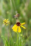 A Bee Hovers Over a Brown Bitterweed Wildflower in Texas