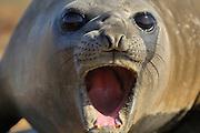 Southern Elephant Seal (Mirounga leonina) | See-Elefant (Mirounga leonina) Saunders Island, Südatlantik, Falklandinseln