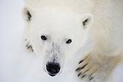 Close-up of polar bear adult (Ursus maritimus), Spitsbergen, Northwest Coast of the Svalbard Archipelago, Norway