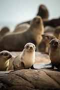 Cape Fur Seals, Mowe Bay, Skeleton Coast, Northern Namibia, Southern Africa