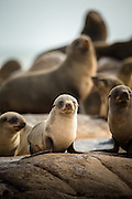 Cape Fur Seals, Mowe Bay, Skeleton Coast, Northern Namibia, Southern Africa