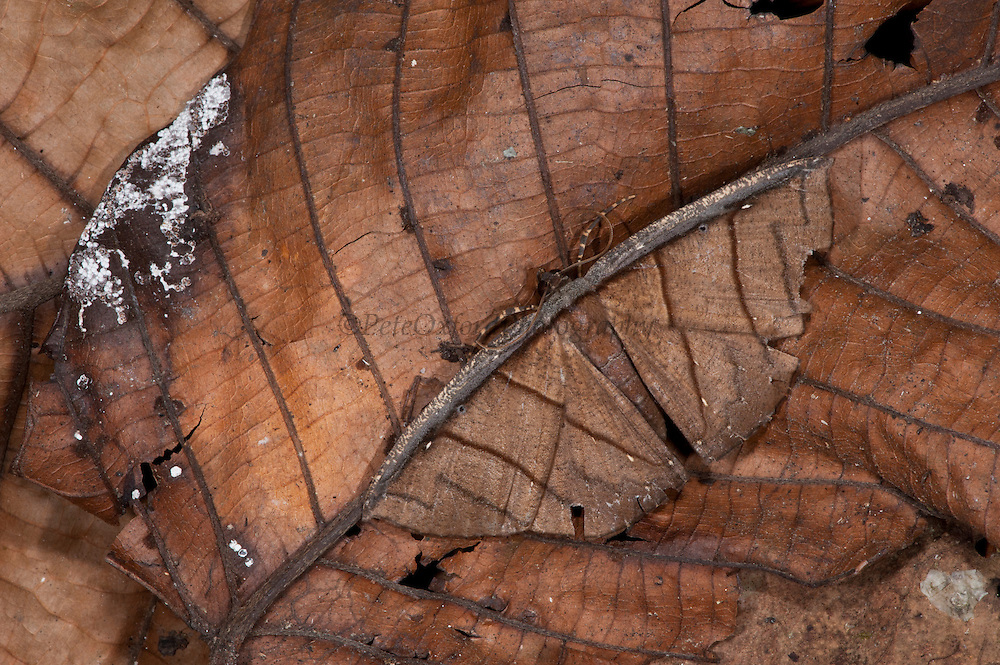 Dead Leaf Moth (Cimicodes albicosta, fam. Geometridae)<br /> Yasuni National Park, Amazon Rainforest<br /> ECUADOR. South America