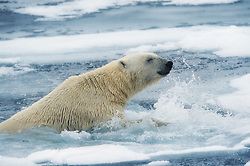 Polar bear (Ursus maritimus) in Svalbard.