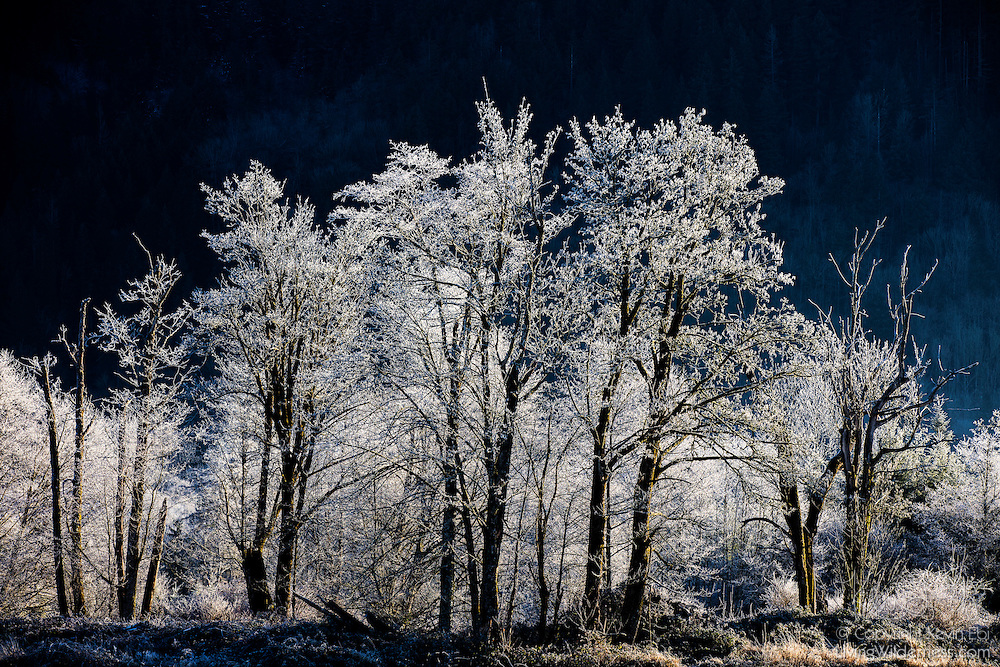 Trees covered in frost brightly stand out from the shaded hillside along Black Slough near Van Zandt, Washington. Freezing fog rising from the slough on a 17°F morning coated the trees in ice.