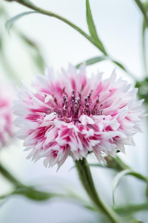 Centaurea cyanus 'Frosted Queen' - cornflower