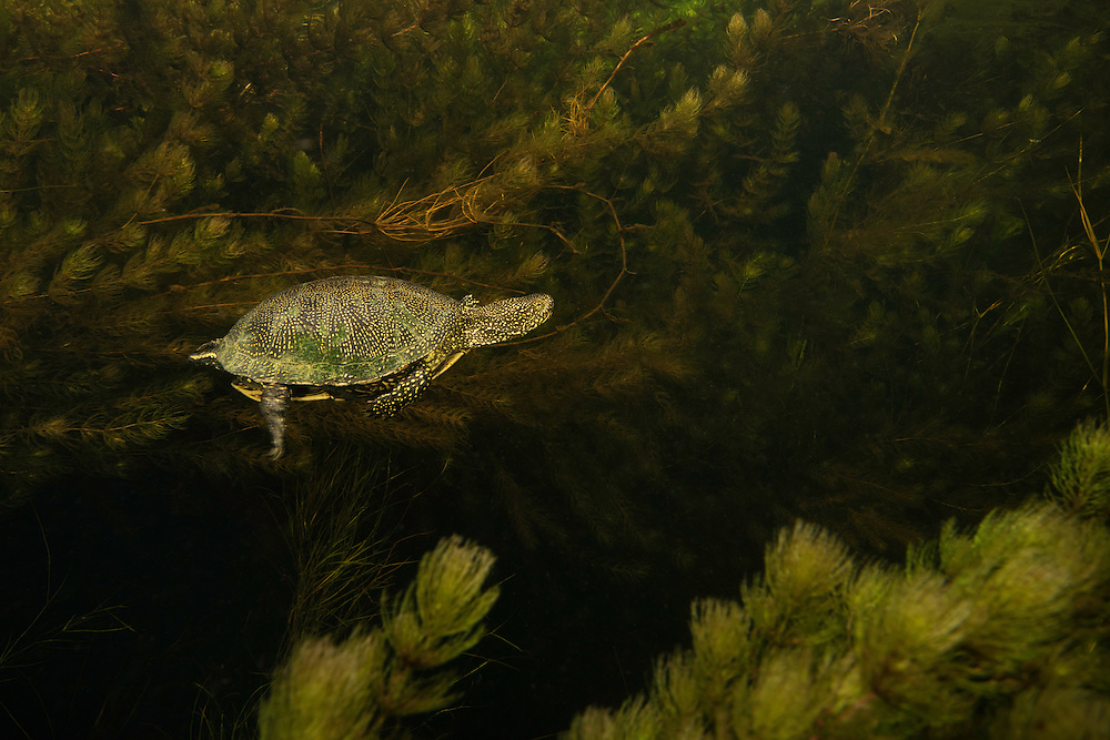 European pond turtle, or European pond terrapin, Emys orbicularis, Danube Delta, Romania