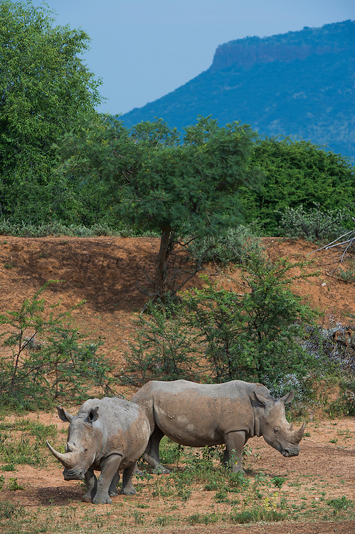 White Rhinoceros (Ceratotherium simum)<br /> Private Game Reserve<br /> SOUTH AFRICA<br /> RANGE: Southern & East Africa<br /> ENDANGERED SPECIES