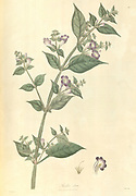Ruellio alata From Plantae Asiaticae rariores, or, Descriptions and figures of a select number of unpublished East Indian plants Volume 1 by N. Wallich. Nathaniel Wolff Wallich FRS FRSE (28 January 1786 – 28 April 1854) was a surgeon and botanist of Danish origin who worked in India, initially in the Danish settlement near Calcutta and later for the Danish East India Company and the British East India Company. He was involved in the early development of the Calcutta Botanical Garden, describing many new plant species and developing a large herbarium collection which was distributed to collections in Europe. Several of the plants that he collected were named after him. Published in London in 1830