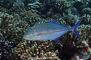 bluefin trevally or bluefin jack, Caranx melampygus, Christmas Island ( Kiritimati ), Republic of Kiribati, northern Line Islands, equatorial Central Pacific Ocean