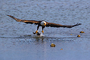 A bald eagle (Haliaeetus leucocephalus) catches a midshipman fish in Hood Canal near Seabeck, Washington. Hundreds of bald eagles and other birds congregate in the area in the early summer to feast on migrating fish that get trapped in oyster beds at low tide.