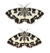 70.120 (1787)<br /> Argent & Sable - Rheumaptera hastata