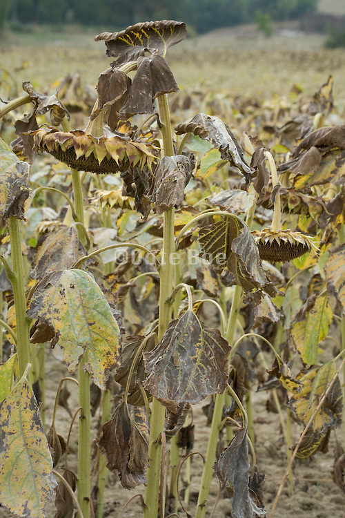 hanging heads from a sunflowers whose time has come to be harvest
