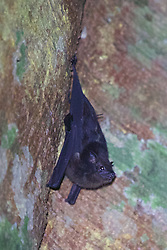 Lined Sac-wing Bat, Tiputini