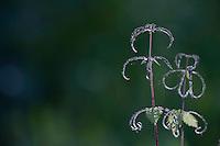 Urtica dioica, Stinging nettle, in Vatican's garden, Rome, Italy
