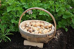 Trug of Dutch iris bulbs ready to plant out