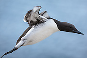Closeup picture of Guillemot in flight, Hornøy, Norway | Nærbilde av Lomvi i flukt, Hornøya, Norge.