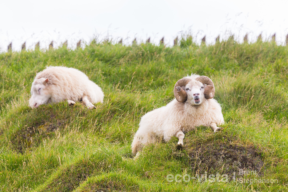 Two male sheep (Ovis aries) lying in a field, one asleep whilst the other chews its cud. Flatey, West Fjords, Iceland. July.