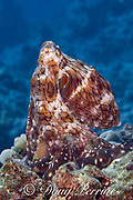 day octopus, common reef octopus, or big blue octopus, Octopus cyanea, in mottled brown and white color pattern, on coral reef, Kohanaiki, North Kona, Hawaii Island ( the Big Island ), Hawaiian Islands, U.S.A. ( Central Pacific Ocean )