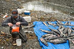 David Campbell, fish technician for the non-profit Northern Southeast Regional Aquaculture Association, Inc. (NSRAA), pours roe from a female chum salmon captured at a man-made spawning channel near Herman Creek located near Haines, Alaska.  <br /> <br /> NSRAA built the channel to collect wild broodstock by harvesting spawning female and male salmon for their eggs and milt to artificially spawn wild chum salmon. The eggs are fertilized with milt and placed in stream-side incubation boxes on Herman Creek and the Klehini River. In 2014, 2.4 million eggs were seeded into these incubation boxes. The 2013 incubation box survival rate was 90%. Without the artificial spawning, natural survival is said to be only 10%.<br /> <br /> The roe will be transported in plastic bags and coolers to the incubation boxes where the roe will be fertilized with milt.<br /> <br /> Based in Sitka, Alaska, NSRAA conducts salmon enhancement projects in northern southeast Alaska. It is funded through a salmon enhancement tax (of three percent) and cost-recovery income. NSRAA also produces sockeye, chinook, and coho salmon.<br /> <br /> Male chum salmon return to Herman Creek to spawn with female chum salmon during the fall chum salmon run. The chum salmon return to freshwater Herman Creek, tributary of the Klehini River after living three to five years in the saltwater ocean. Spawning only once, chum salmon die approximately two weeks after they spawn. <br /> <br /> Chilkat River and Klehini River chum salmon are the primary food source for one of the largest gatherings of bald eagles in the world. Each fall, bald eagles congregate in the Alaska Chilkat Bald Eagle Preserve.