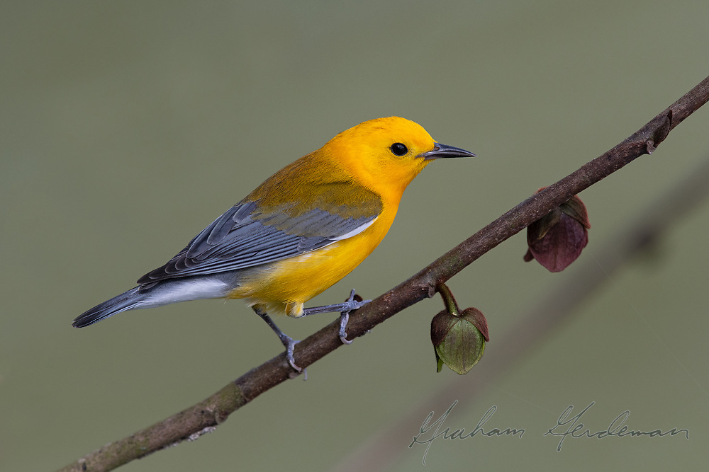 Prothonotary Warbler on a Pawpaw branch.