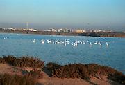 flamingoer, Cagliari, Sardinia..neg Sardinia, Italia.