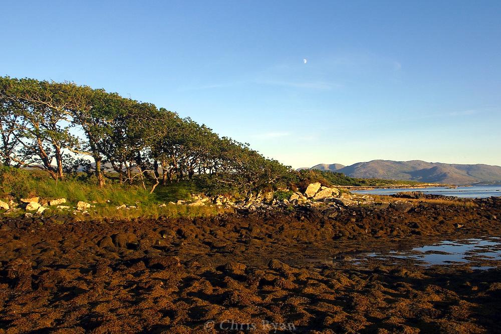 Oak trees shaped by the wind, County Kerry, Ireland
