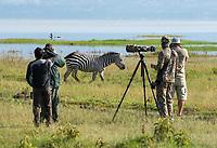 A Grant's Zebra, Equus quagga boehmi, walks past a group of photographers on the shore of Lake Nakuru in Lake Nakuru National Park, Kenya