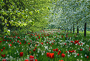 Tulips and cherry blossom in April