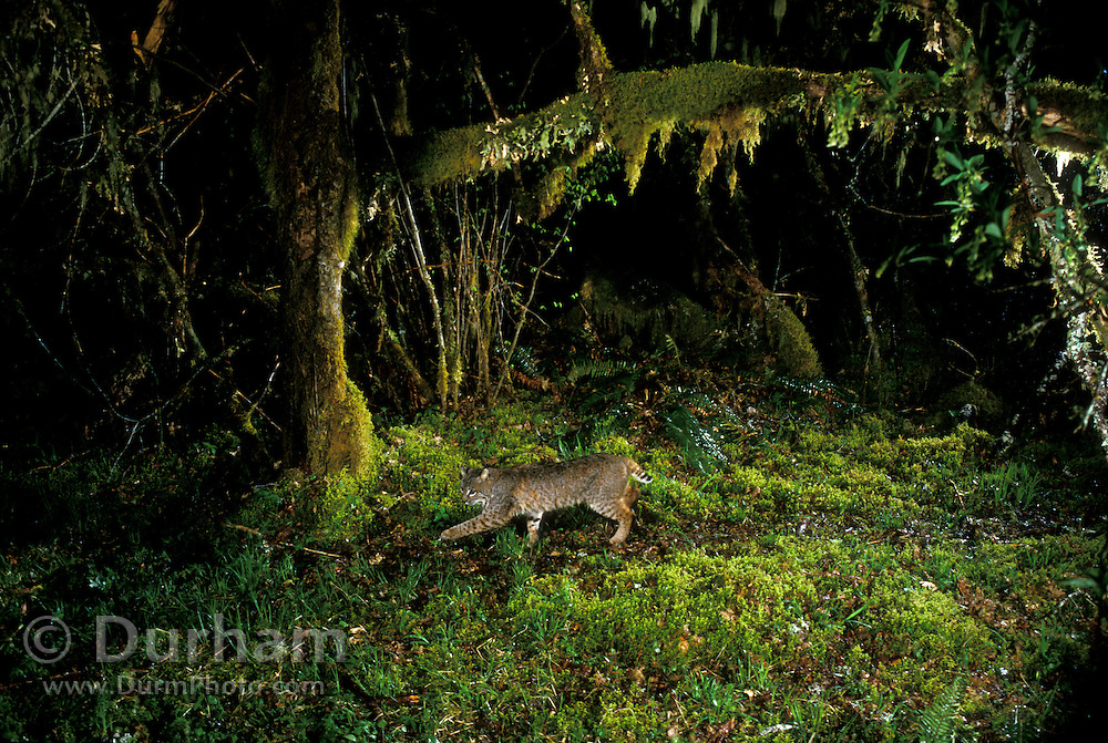 A wild bobcat (Felis rufus) walking down a game trail on a rainy night in the Mount Hood National Forest, Oregon. © Michael Durham / www.DurmPhoto.com