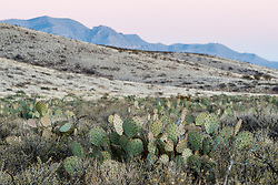 Cactus at sunset, Ladder Ranch, west of Truth or Consequences, New Mexico, USA.