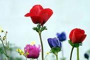 Israel, wild flowers Anemone, coronaria  growing in their natural habitat