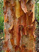 "Eucalyptus (gum tree) bark in coastal Royal National Park between the towns of Loftus and Stanwell Park, 29 km south of Sydney, in New South Wales, Australia. This reserve was first in the world to use the term ""National Park."" It was established in 1879, making it Australia's oldest and the world's second-oldest national park (after Yellowstone, USA)."