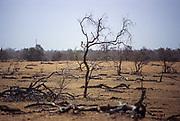 Dead trees landscape in desertified Sahel near Nioro du Sahel.