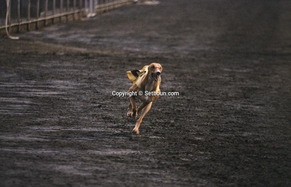Training of greyhounds at the canidrome (dog race field). Macau  /// courses de levriers au canidrome de Macao, entraînement  pour la course /// R229/    L3100  /  P0006200
