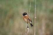 Stonechat, Saxicola torquata, Elmley National Nature Reserve, United Kingdom, perching, male