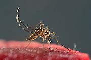 Bloodsucking Yellow fever mosquito (Aedes aegypti) is the vector for transmitting Zika virus, yellow fever virus and dengue fever.   Bernhard Nocht Institute for Tropical Medicine; (BNI). Hamburg, Germany | Die Gelbfiebermücke (Aedes aegypti) kann unterschiedliche Viruserkrankungen übertragen, darunter Gelbfieber, Dengue-Fieber und Zika-Fieber. Sie wird auch Denguemücke oder Ägyptische Tigermücke genannt. Die Stechmücke kommt nur in den Tropen und Subtropen vor. Bernhard-Nocht-Institut für Tropenmedizin, Hamburg, Deutschland