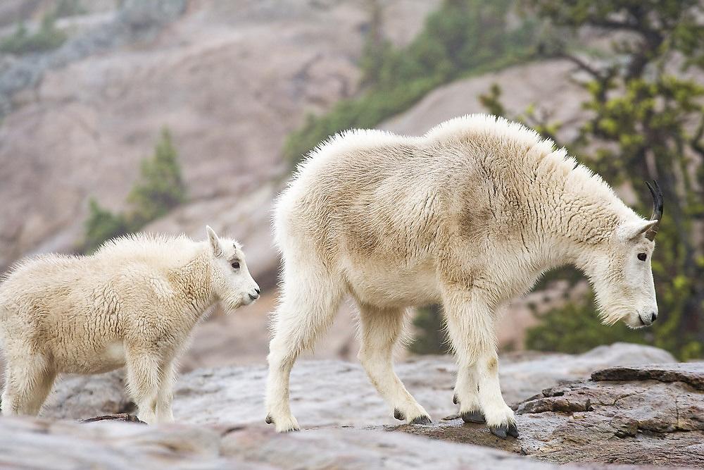 A female mountain goat (Oreamnos americanus) and her kid walk together above Ingalls Lake, Alpine Lakes Wilderness, Washington.