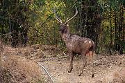 Sambar deer (Rusa unicolor), dominant and breeding male. Tadoba NP, India.