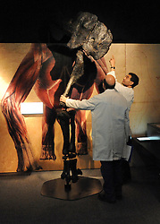 © licensed to London News Pictures. LONDON UK. 20/04/11. Two men look at the 3 metre high Camarasaurus leg. Dinosaurs make a dramatic return to the London's Natural History Museum in this summer's family blockbuster exhibition, Age of the Dinosaur. .See special instructions for usage rates. Photo credit should read Stephen Simpson/LNP