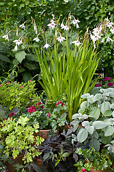 Gladiolus callianthus syn. Acidanthera bicolor var murielae, A. murielae growing in a pot. Fragrant gladiolus, Sword lily
