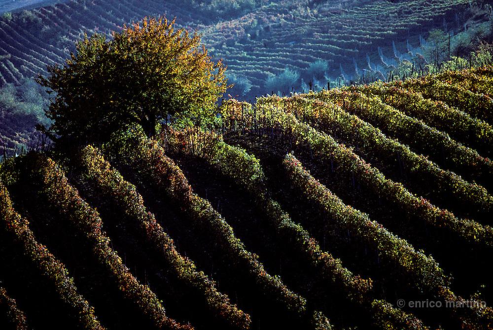 Langhe, Castiglione Falletto. Barolo vineyards.