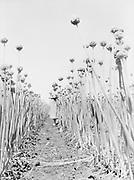 9969-1910Onion rows in a field near Gervais, Oregon. July 21, 1935.