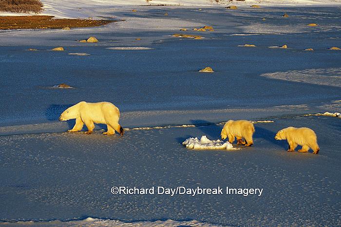 01874-01114 Polar Bears (Ursus maritimus) female with 2 cubs walking on frozen pond  Churchill  MB