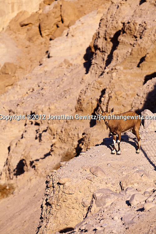 A Nubian ibex (Capra nubiana) stands on a ledge over Nahal David in the Ein Gedi nature preserve. WATERMARKS WILL NOT APPEAR ON PRINTS OR LICENSED IMAGES.