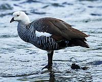 Upland Goose (Chloephaga picta). Ensenada Zaratiegui bay. Tierra del Fuego National Park. Image taken with a Nikon Df camera and 80-400 mm lens.