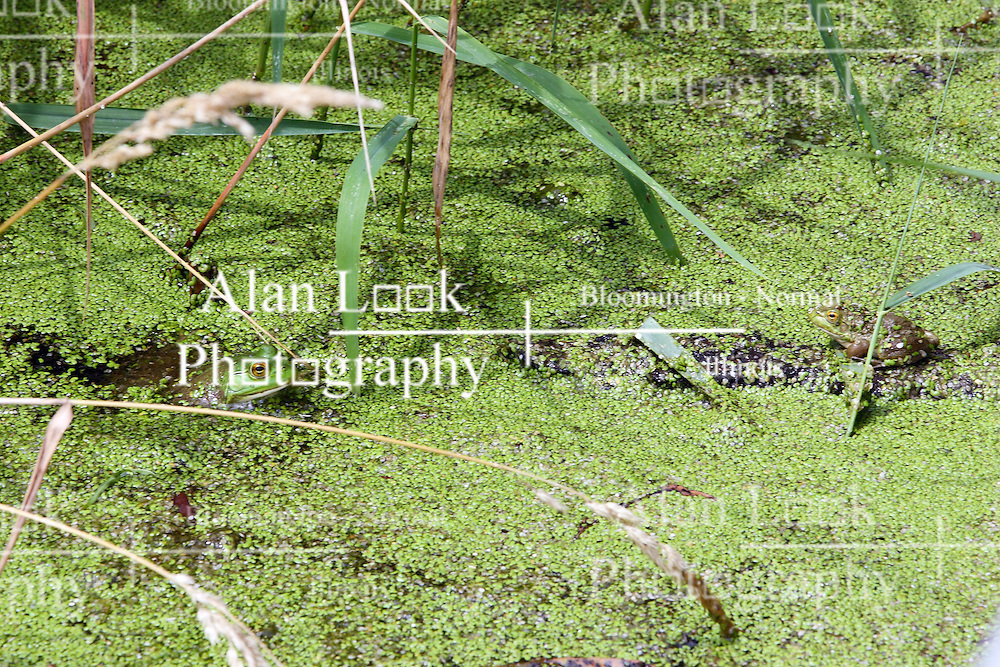 15 Jul 2011: a bullfrog hides in the algae at a pond near or in the Moraine View State Park, LeRoy Illinois (Photo by Alan Look)