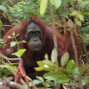 Orang-utan (Pongo pygmaeus) Tanjung Puting National Park. Borneo