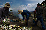 Workers toss raw maguey piñas into a pit filled with hot rocks. The piñas will cook for a few days before being removed from the oven, mashed and distilled into mezcal. Mezcal is an alcohol similar to tequila in that it comes from the agave plant. Where the two drinks differ is what makes mezcal an increasingly popular artisanal drink throughout the United States.